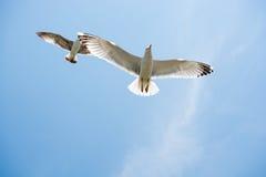 飞行在天空的两只海鸥 免版税库存照片