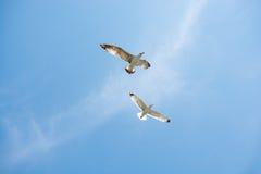 飞行在天空的两只海鸥 免版税图库摄影