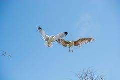 飞行在天空的两只海鸥 免版税库存图片