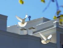 飞行在天空的两只美丽的白色鸠 免版税库存照片