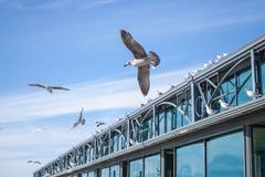 飞行在天空的海鸥在码头大厦附近 免版税库存照片