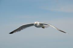 飞行在天空的海鸥 免版税库存照片