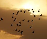 飞行在天空的鸟在日落期间 免版税库存照片
