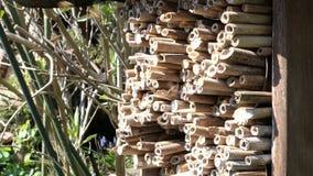 飞行在孤零零狂放的蜂保护的昆虫旅馆前面的野生蜂 Osmia bicornis蜂 股票视频