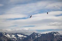 飞行在小猎犬海峡-乌斯怀亚,火地群岛,阿根廷的山的智利贼鸥鸟 免版税图库摄影