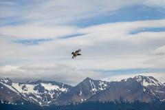 飞行在小猎犬海峡-乌斯怀亚,火地群岛,阿根廷的山的智利贼鸥鸟 库存照片