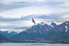 飞行在小猎犬海峡-乌斯怀亚,火地群岛,阿根廷的山的智利贼鸥鸟 图库摄影