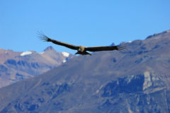 飞行在山的公幼小神鹰 免版税库存照片
