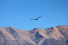 飞行在山的公幼小神鹰 免版税库存图片