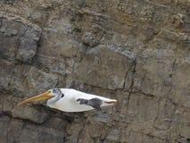 飞行在岩石峭壁附近的一美国白色鹈鹕 免版税图库摄影