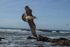 飞行在岩石海岸的海鸥 免版税库存图片