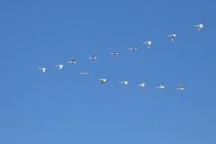 飞行在形成的寒带苔原天鹅 免版税图库摄影