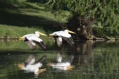 飞行在形成的美国白色鹈鹕 免版税库存图片