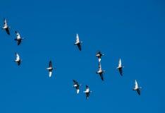 飞行在形成的鸭子 库存图片