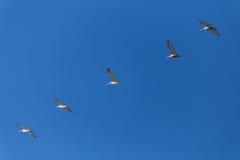 飞行在形成的鹈鹕 免版税库存图片