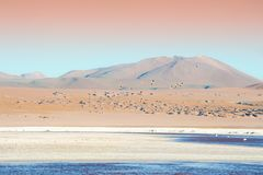 飞行在拉古纳Colorada,玻利维亚的火鸟 免版税图库摄影