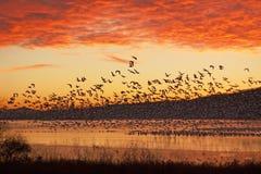 飞行在日出的雪雁 免版税库存照片