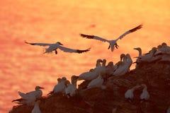 飞行在日落的嵌套殖民地的Gannet 库存图片