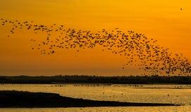 飞行在日落的鸟 库存图片