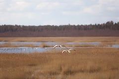 飞行在早期的春天的两只美丽的鹅环境美化 图库摄影