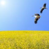 飞行在春天开花的草甸的鹳夫妇 免版税库存照片