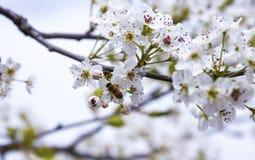 飞行在杏仁花的蜂 库存图片