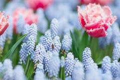 飞行在桃红色和白色中的两只蜂装饰了郁金香和蓝色gra 免版税库存照片