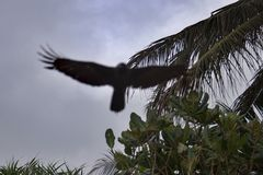 飞行在棕榈树的鸷 免版税图库摄影
