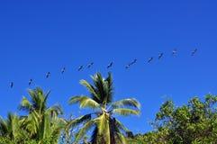 飞行在棕榈树的鹈鹕 免版税图库摄影