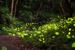 飞行在森林里的萤火虫 免版税库存图片