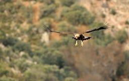 飞行在橡木森林的老鹰 免版税库存照片