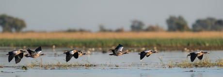 飞行在水的一条线的埃及鹅 免版税库存照片