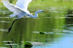 飞行在水的极大的空白白鹭 免版税库存照片