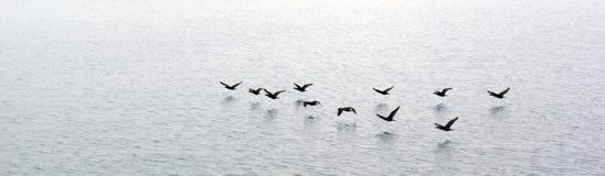 飞行在水的鸭子 免版税库存图片