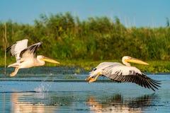 飞行在水的鹈鹕在多瑙河三角洲的日出 免版税库存图片