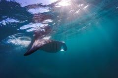 飞行在水面下在阳光下的美好的披巾在蓝色海 免版税库存照片