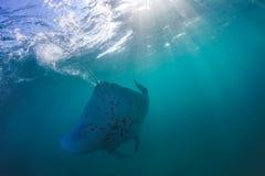 飞行在水面下在阳光下的美好的披巾在蓝色海 库存照片