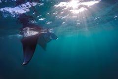 飞行在水面下在阳光下的美好的披巾在蓝色海 库存图片