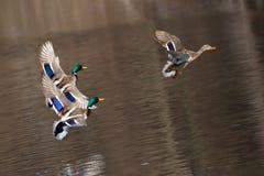 飞行在求爱飞行的德雷克野鸭 鸭子飞行在水 库存照片