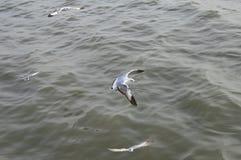飞行在河上的海鸥 免版税库存照片