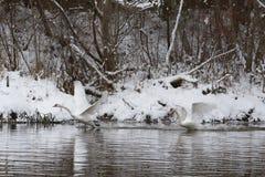飞行在河上的白色天鹅一对美好的夫妇在冬天 免版税库存照片