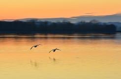 飞行在河的天鹅在日落 图库摄影