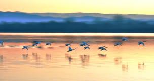 飞行在河的天鹅在日落 免版税库存照片