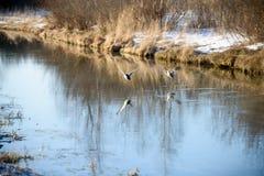 飞行在河的泉水的两只鹅 图库摄影
