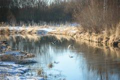 飞行在河的泉水的两只鹅 库存图片