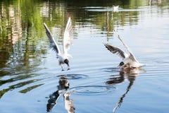 飞行在河的海鸥在夏日 库存照片