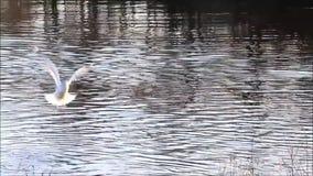 飞行在河的海鸥 股票视频