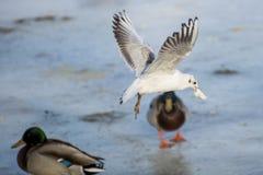 飞行在河的海鸥 库存照片