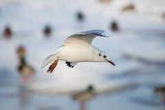 飞行在河的海鸥 免版税库存图片