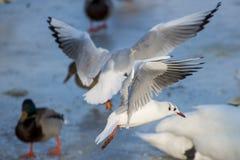 飞行在河的海鸥 免版税图库摄影